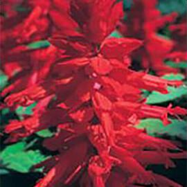 Оливер Red Kitano Seeds 1 гр, Фасовка: Проф упаковка 1 г