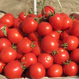 Насіння томату детермінантного Солероссо F1 Nunhems від 20 шт, Фасовка: Міні упаковка 20 шт