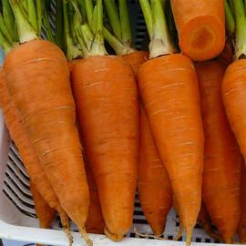Семена моркови Йорк F1  Lark Seeds 250 000 шт (2,0-2,4), Фасовка: Проф упаковка 250 000 шт (2,0-2,4)