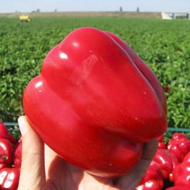 Семена перца Геркулес F1 Clause от 10 шт, Фасовка: Проф упаковка 5 г