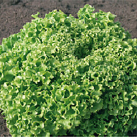 Насіння салату Естроза Enza Zaden від 50 шт, Фасовка: Проф упаковка 5 г
