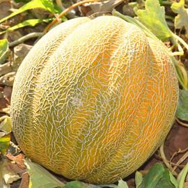 Семена дыни Танга F1 Solare Sementi 500 г, Фасовка: Проф упаковка 500 г