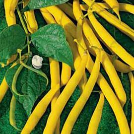 Насіння квасолі спаржевої жовтий Бергольд Hortus від 250 г, Фасовка: Проф упаковка 250 г