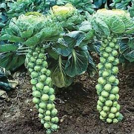 Насіння капусти брюссельської Бріліант Hazera 2 500 шт, Фасовка: Проф упаковка 2 500 шт
