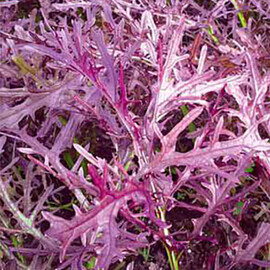 Насіння салату типу Гірчичний Мізуна червона Hortus від 50 г, Фасовка: Проф упаковка 50 г
