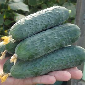 Семена огурца Северин (Е23р.16087) F1 Enza Zaden 500 шт, Фасовка: Проф упаковка 500 шт