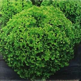 Насіння салату Драгон Hazera 1 000 шт драже, Фасовка: Проф упаковка 1 000 шт драже