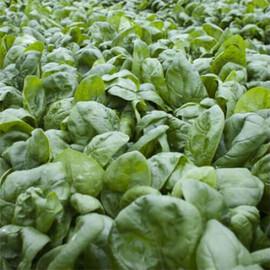Семена шпината Муфлон F1 Rijk Zwaan от 25 000 шт, Фасовка: Проф упаковка 25 000 шт