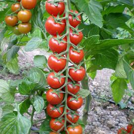 Семена томата индетерминантного Марголь F1 Yuksel Tohum 100 шт, Фасовка: Проф упаковка 100 шт