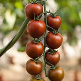 Семена томата индетерминантного Тайгер F1 Yuksel Tohum 100 шт, Фасовка: Проф упаковка 100 шт