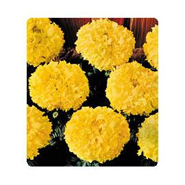 Насіння чорнобривців Чикаго Gold Kitano Seeds 500 шт, Фасовка: Проф упаковка 500 шт