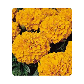 Насіння чорнобривців Чикаго Orange Kitano Seeds 500 шт, Фасовка: Проф упаковка 500 шт
