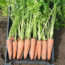 Семена моркови Канада F1 Bejo от 1 г, Фасовка: Мини упаковка 1 г