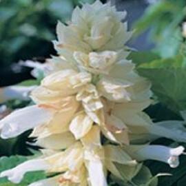 Семена сальвии Кампай White Kitano Seeds 1 гр