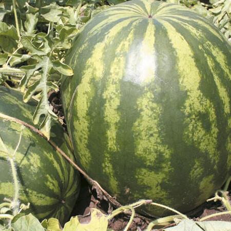 Семена арбуза Гротеск F1 Agri Saaten 1 000 шт, Фасовка: Проф упаковка 1 000 шт