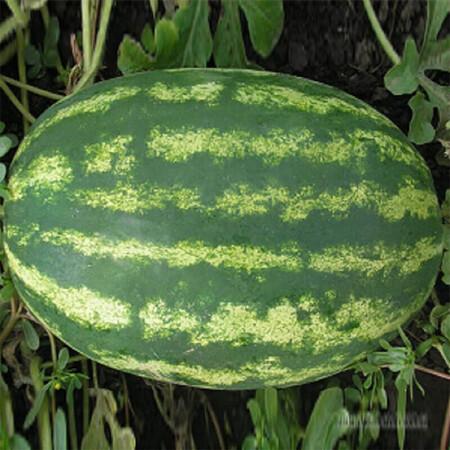 Семена арбуза Медисон F1 Clause 1 000 шт, Фасовка: Проф упаковка 1 000 шт