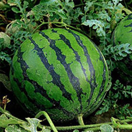 Семена арбуза Соренто F1 Syngenta 1 000 шт, Фасовка: Проф упаковка 1 000 шт