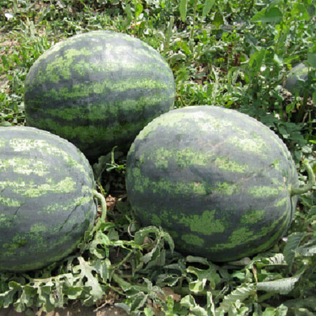 Семена арбуза Зенго F1 Lark Seeds 1 000 шт, Фасовка: Проф упаковка 1 000 шт