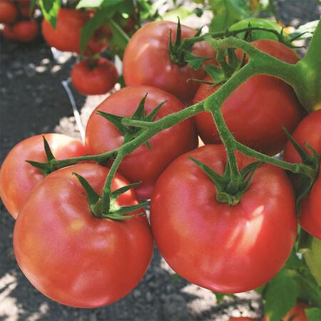 Семена томата индетерминантного Пинк Делайт F1 Ergon от 100 шт, Фасовка: Проф упаковка 100 шт