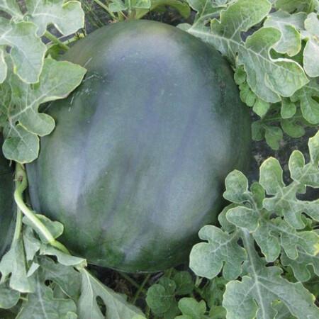 Насіння кавуна СРХ 10041 F1 Cora Seeds 1000 шт