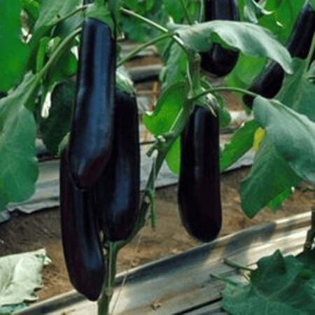 Семена баклажана Найт Леди F1  United Genetics 1 000 шт