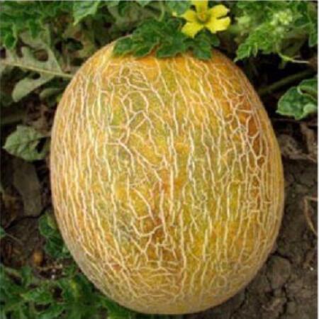 Семена дыни Ананас United Genetics 100 гр