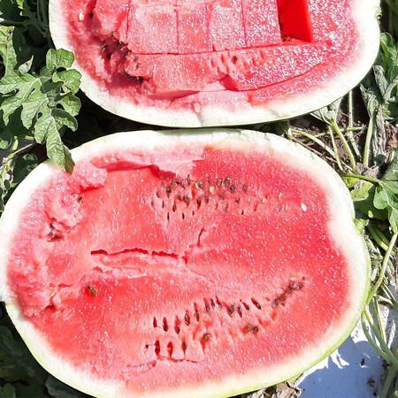Семена арбуза Брэндон F1 Libra Seeds (Erste Zaden) 1 000 шт
