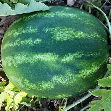 Семена арбуза Ланкастер F1 Libra Seeds (Erste Zaden)1 000 шт