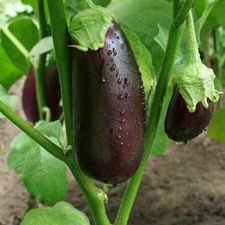 Семена баклажана Бига F1 Libra Seeds (Erste Zaden) 1 000 шт
