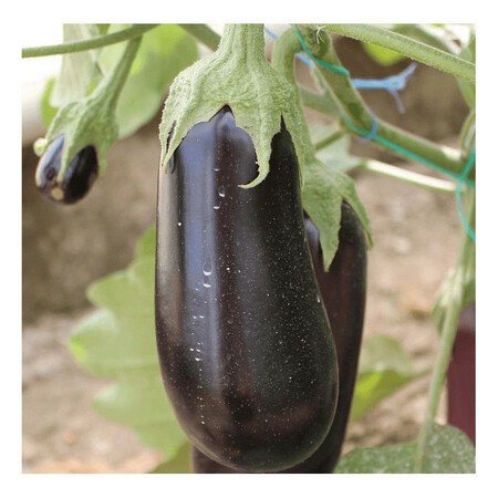 Семена баклажана Ельдорадо F1 Libra Seeds (Erste Zaden) 1 000 шт