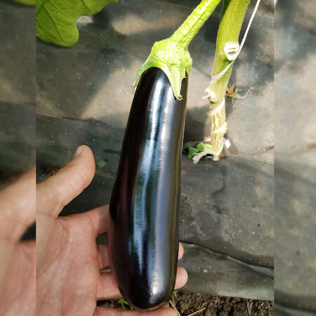 Насіння баклажана Караман F1 Libra Seeds (Erste Zaden) 1 000 шт