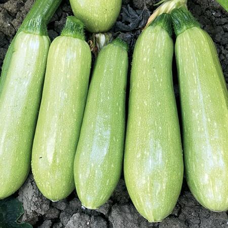 Семена кабачка EZ 38 F1 Libra Seeds (Erste Zaden) 250 шт., Фасовка: Проф упаковка 250 шт