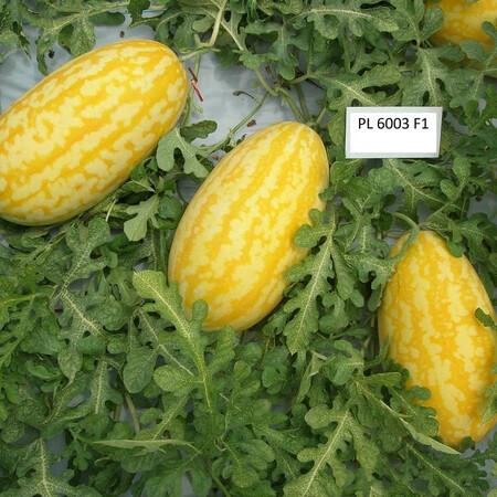 Семена арбуза желтого PL 6003 F1 Asia Seed 500 шт