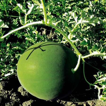 Семена арбуза Блеки F1 Libra Seeds (Erste Zaden) 1 000 шт