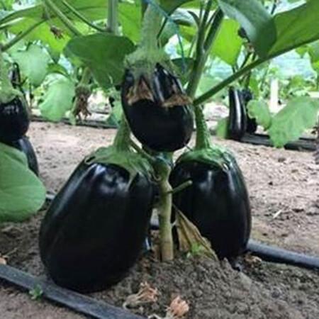 Семена баклажана Рафаэла F1 Clause 1 000 шт