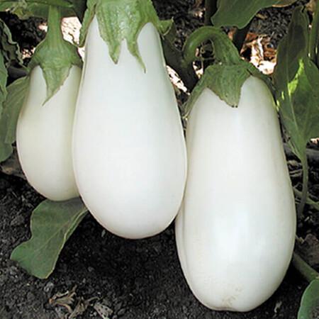 Семена баклажана Бибо F1 Seminis 100 шт, Фасовка: Проф упаковка 100 шт