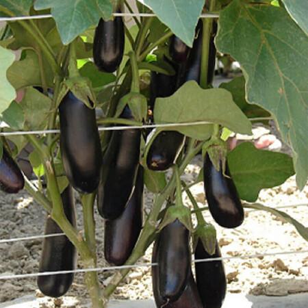 Семена баклажана Дестан F1 Enza Zaden от 20 шт, Фасовка: Мини упаковка 20 шт