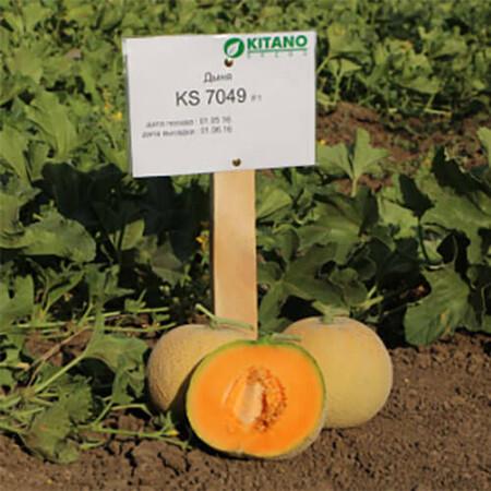 Семена дыни КС 7049 F1 Kitano Seeds от 100 шт, Фасовка: Мини упаковка 100 шт