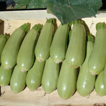 Семена кабачка Азиад Sakata 1 000 шт, Фасовка: Проф упаковка 1 000 шт
