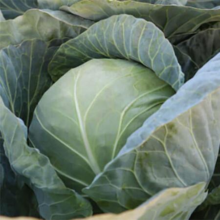 Семена капусты б/к КС 15 F1 Kitano Seeds от 1 000 шт, Фасовка: Проф упаковка 1 000 шт