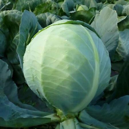 Семена капусты б/к КС 60 F1 Kitano Seeds от 1 000 шт, Фасовка: Проф упаковка 1 000 шт