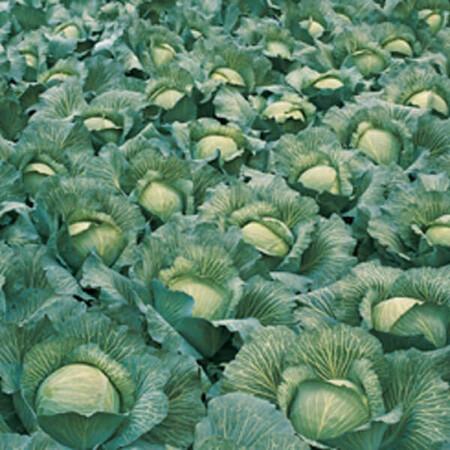 Семена капусты б/к Леннокс F1 Bejo от 100 шт, Фасовка: Проф упаковка 100 шт