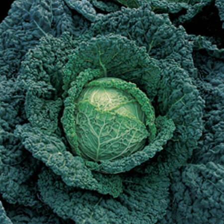 Семена капусты савойской Мелиса F1 Bejo 2 500 шт, Фасовка: Проф упаковка 2 500 шт