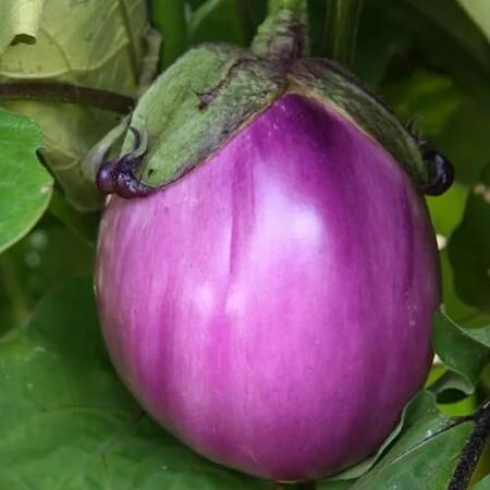 Семена баклажана Беата F 1 Semo 50 шт, Фасовка: Проф упаковка 1 г