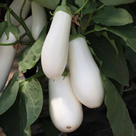 Семена баклажана Аретуза F1 Rijk Zwaan от 100 шт, Фасовка: Проф упаковка 100 шт