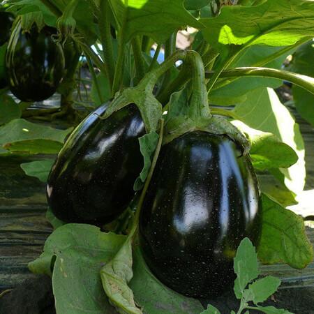 Семена баклажана Чемодан F1 Lark Seeds 1 000 шт, Фасовка: Проф упаковка 1 000 шт