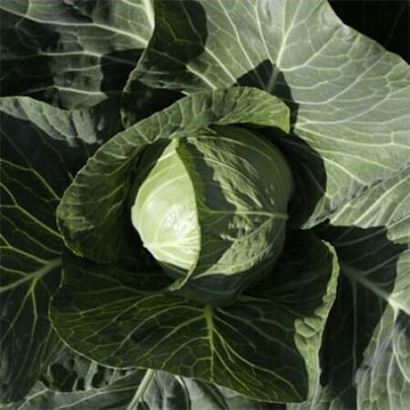 Семена капусты б/к Силима F1 Rijk Zwaan от 1 000 шт, Фасовка: Проф упаковка 1 000 шт