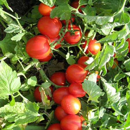 Насіння томату детермінантного Боцман F1 Lark Seeds від 1 000 шт, Фасовка: Проф упаковка 1 000 шт