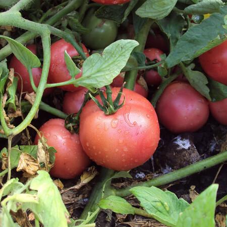 Семена томата детерминантного Пинк Свитнес F1 Lark Seeds 500 шт, Фасовка: Проф упаковка 500 шт