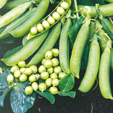 Семена гороха Преладо Syngenta от 10 г, Фасовка: Мини упаковка 10 г
